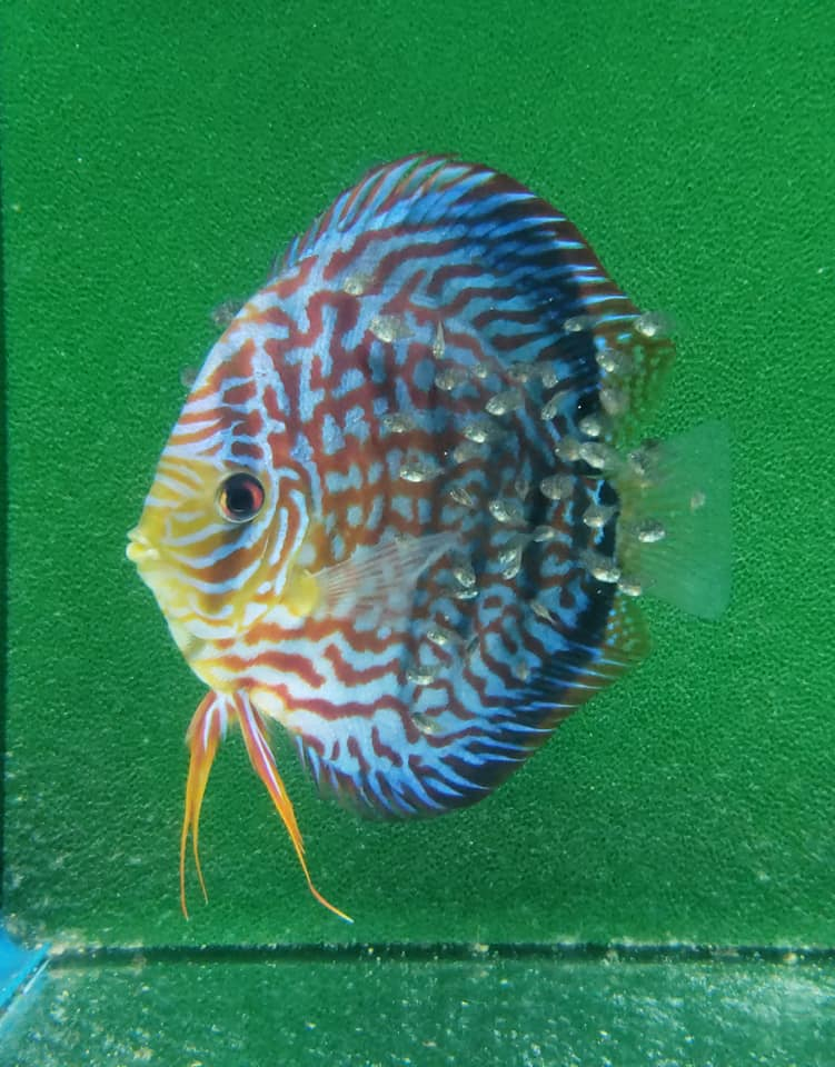 "Super Galaxy Turquoise discus (50 cent size) 1 1/2""-2"" Pack of 6"